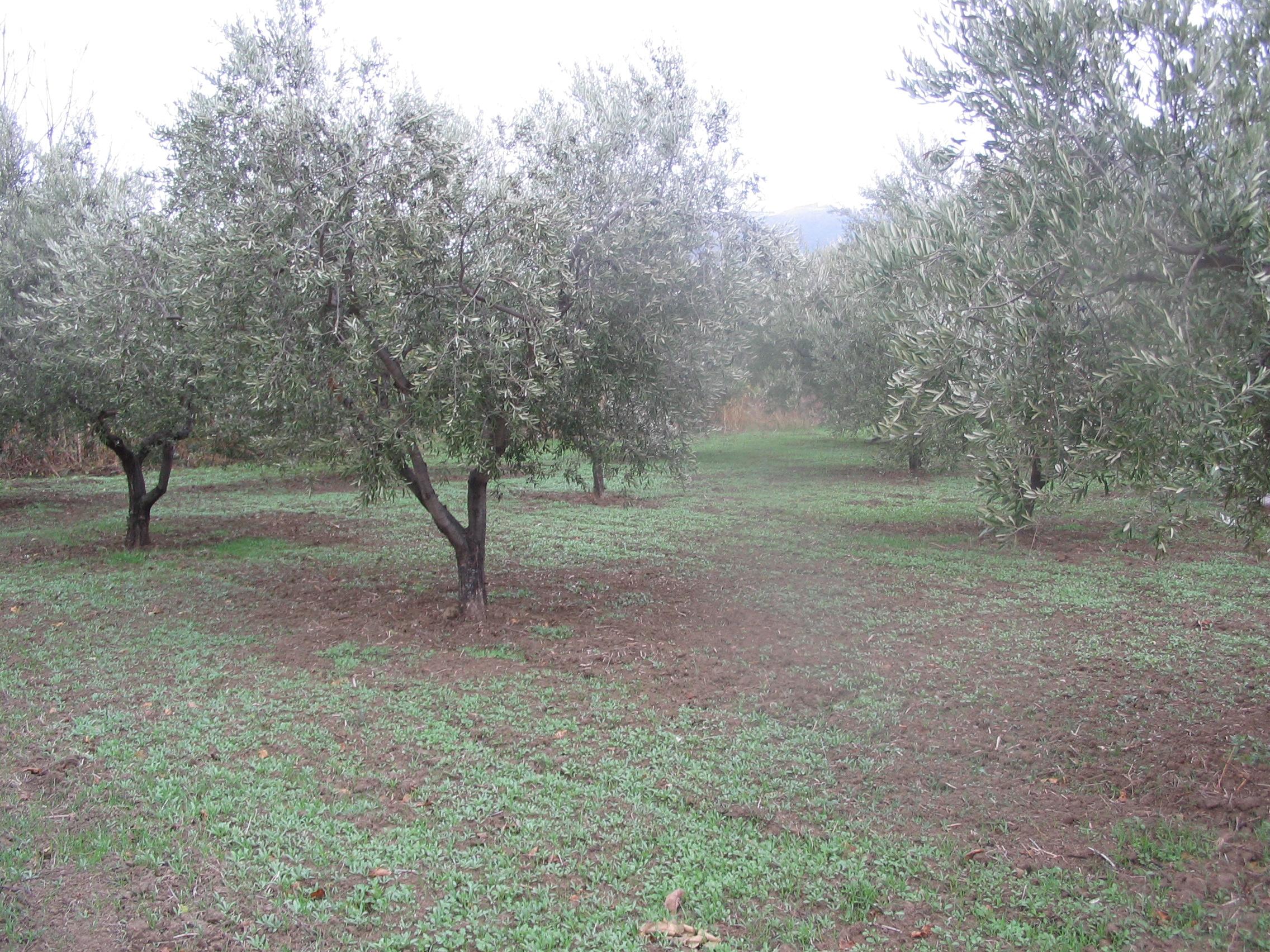 il trifoglio coltivato negli uliveti